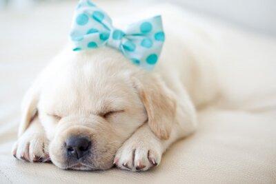 Sticker Labrador-Welpen