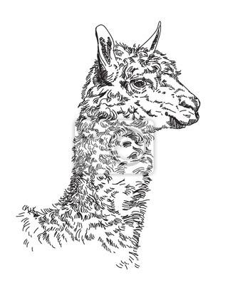Lama Vektor Handzeichnung Illustration