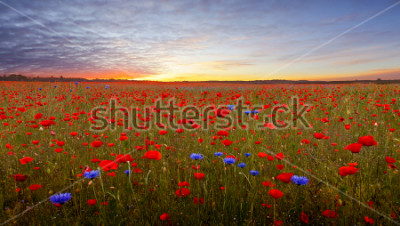 Sticker Landscape with poppies in Jutland, Denmark at sunset