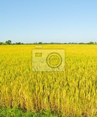 Landschaft der goldenen Reisfeld in Thailand