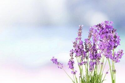Sticker Lavendel.