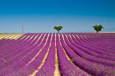 Sticker Lavendel blühenden duftenden Felder