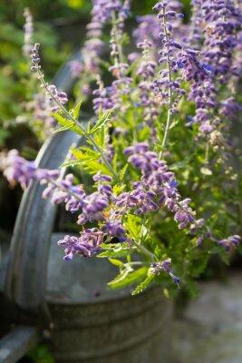 Sticker Lavendel-Blumen im Garten Gießkanne