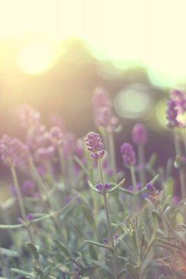 Sticker Lavendel im Gegenlicht