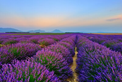 Sticker Lavendelfeld bei Sonnenuntergang