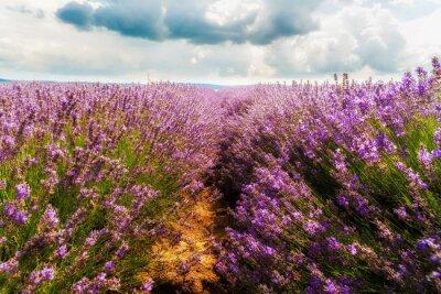Sticker Lavendelfeld, Plateau de Valensole, Provence, Frankreich