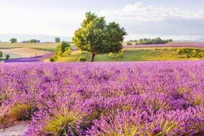 Sticker Lavendelfelder in der Nähe Valensole in Provence, Frankreich auf Sonnenuntergang