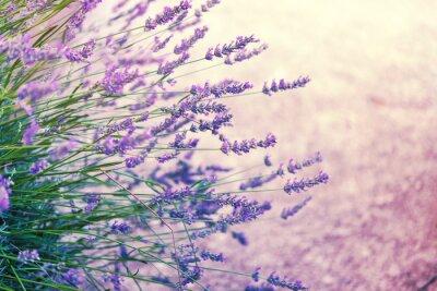 Sticker Lavender in wild, getönten