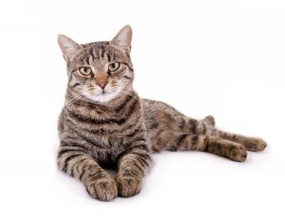 Sticker Liegende, getigerte Katze