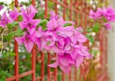 lila Bougainvillea Blumen im Garten