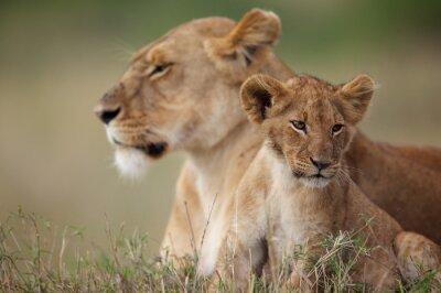 Sticker Lion Cub mit seiner Mutter im Hintergrund