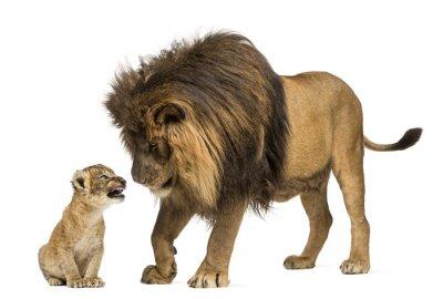 Sticker Lion stehen und schaut ein Löwenbaby