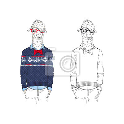 Llama man dressed up in Christmas jacquard knitted sweater.