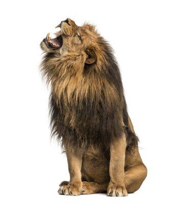 Sticker Löwe brüllt, sitzend, Panthera Leo, 10 Jahre alt, isoliert