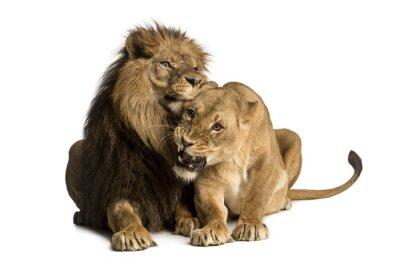 Sticker Löwe und Löwin Kuscheln, Liegen, Panthera leo, isoliert