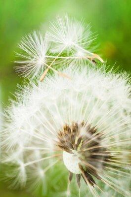 Sticker Löwenzahn Blume mit zwei Samen an der Spitze