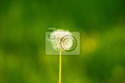 Löwenzahn Samen in der Morgensonne weggeblasen über eine fr