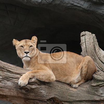 Löwin auf einem Baumstamm