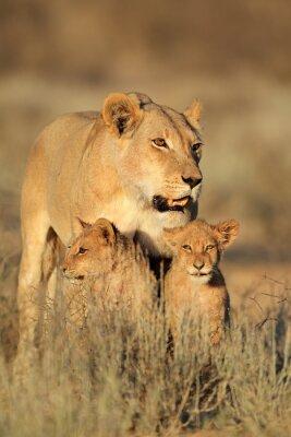 Sticker Löwin mit jungen Löwenjungen (Panthera leo) im frühen Morgenlicht, Kalahari Wüste, Südafrika.