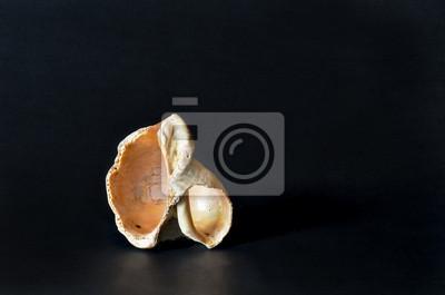 Luxury seashell, isolated on black