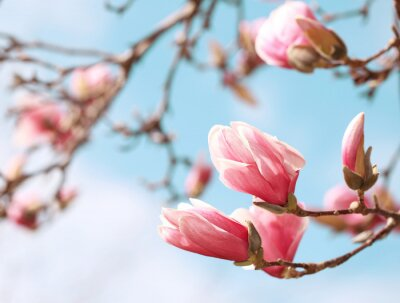 Sticker Magnolia Baum Blüte im Frühling
