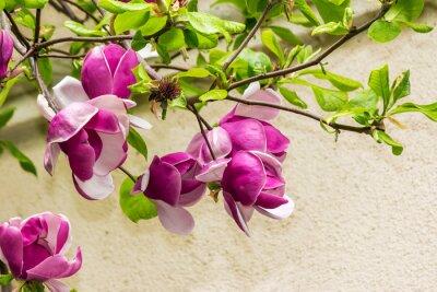 Sticker Magnolia Blumen auf einem blury Hintergrund