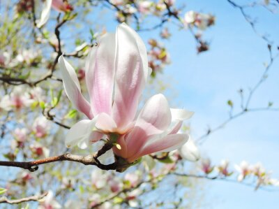Sticker Magnolienbaum Blüte