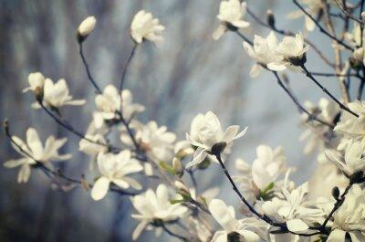 Sticker Magnolienblüten