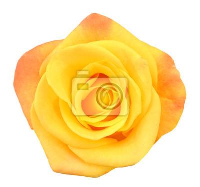 Makro des perfekten gelben Rosen-Flusses