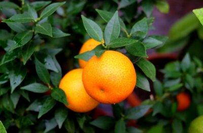 Mandarine auf einem Zweig