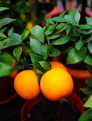 Mandarine auf einem Zweig auf einem Hintergrund von grünen Blättern