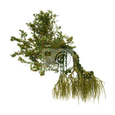 Mangrove-Baum der Wiedergabe-3D auf Weiß