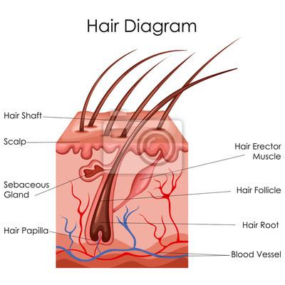 Medizinische ausbildung diagramm der biologie für haar diagramm ...