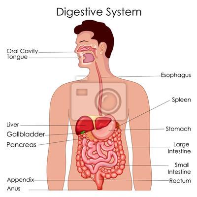 Medizinische ausbildung diagramm der biologie für verdauungssystem ...