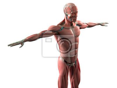 Menschliche anatomie mit gesicht, kopf, schultern und torso ...