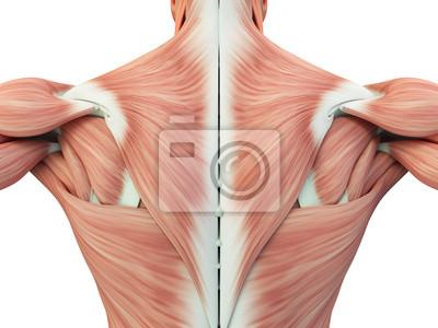 Menschliche anatomie torso rückenmuskulatur, schmerzen. 3d abbildung ...