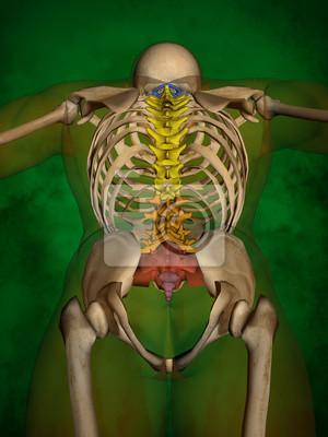 Menschliches skelett m-sk-pose bb-56-10, wirbelsäule, 3d-modell ...