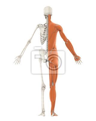 Menschliches skelett und muskel anatomie isoliert notebook-sticker ...