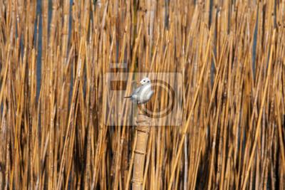 Migrant Möwe hockend auf einem Bambus-Stick