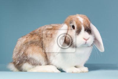 Mini-lop Kaninchen auf einem blauen Hintergrund