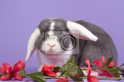 Mini-lop Kaninchen auf lila Hintergrund