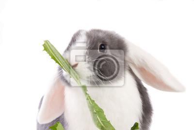 Mini-lop Kaninchen essen