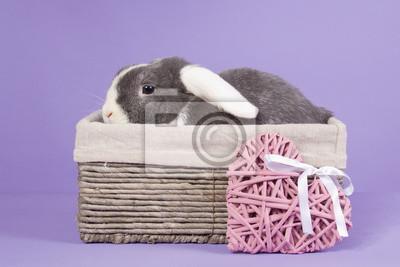 Mini-lop Kaninchen im Korb
