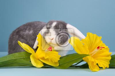 Mini-lop Kaninchen mit Narzissen