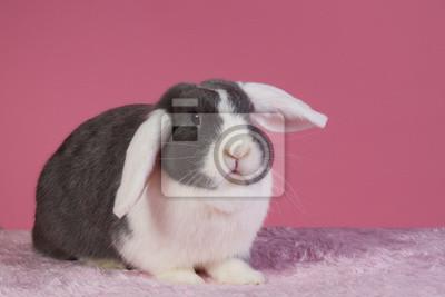 Mini-lop Kaninchen mit rosa Hintergrund
