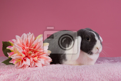 Mini-lop Kaninchen mit rosa Hintergrund und Blume