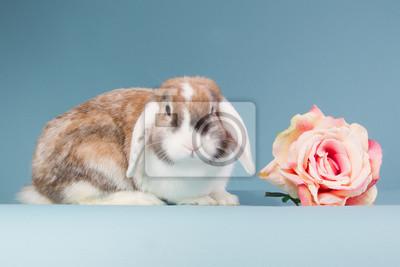 Mini-lop Kaninchen mit Rose
