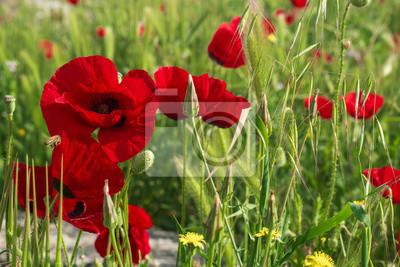 Mohn Feld Hintergrund. Schöne rote Mohnblumen auf grünem Feld.
