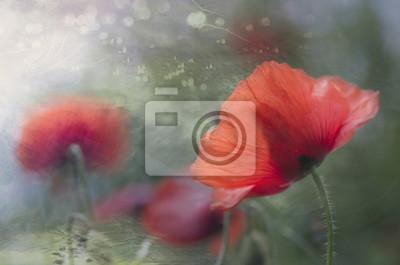 Mohnblume in der Blüte