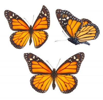 Sticker Monarchfalter